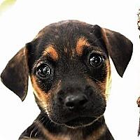 Adopt A Pet :: Traci - South Jersey, NJ