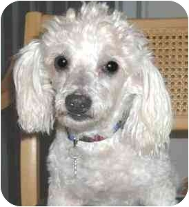 Poodle (Miniature) Dog for adoption in Melbourne, Florida - DEWEY