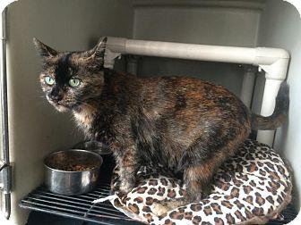 Domestic Shorthair Cat for adoption in Hazel Park, Michigan - Georgia