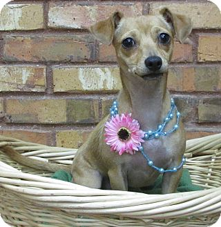 Dachshund/Chihuahua Mix Dog for adoption in Benbrook, Texas - Bubbles