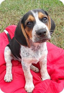 Beagle Mix Puppy for adoption in Salem, New Hampshire - PUPPY KRISTOFF