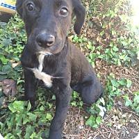 Adopt A Pet :: BRIANNA - Irvine, CA