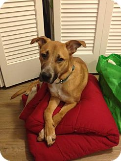 Shepherd (Unknown Type) Mix Dog for adoption in Chicago, Illinois - Campbell