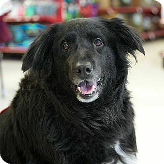 Flat-Coated Retriever Mix Dog for adoption in Bridgewater, New Jersey - Murray