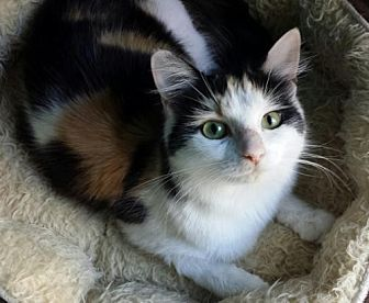Calico Cat for adoption in Knoxville, Tennessee - Katarina