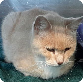 Domestic Shorthair Cat for adoption in Saint Albans, Vermont - Spike