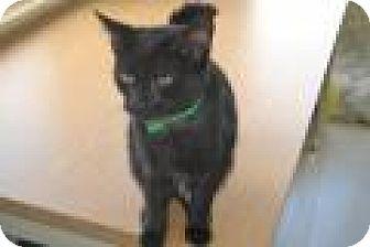 American Shorthair Kitten for adoption in East Smithfield, Pennsylvania - Rose