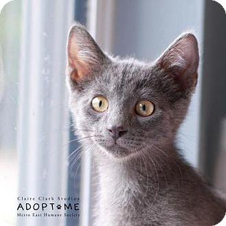 Domestic Shorthair Kitten for adoption in Edwardsville, Illinois - Matt