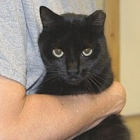 Adopt A Pet :: Soot - Libby, MT