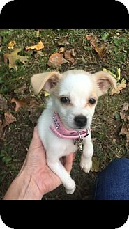Chihuahua Mix Puppy for adoption in Lima, Pennsylvania - Shylo
