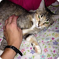 American Shorthair Cat for adoption in Port Charlotte, Florida - Galaxy
