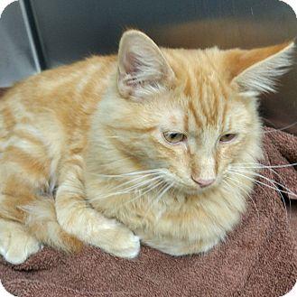 Maine Coon Cat for adoption in Phoenix, Arizona - Eddie