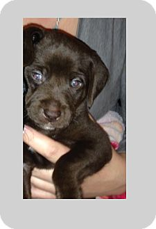 Labrador Retriever Mix Puppy for adoption in Durham, Ontario - Dudley