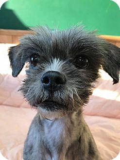Lhasa Apso/Shih Tzu Mix Dog for adoption in Maryville, Missouri - Zoey