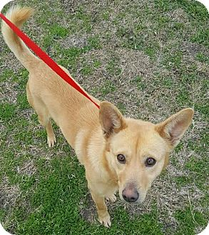 Basenji/Shiba Inu Mix Dog for adoption in Havelock, North Carolina - Merlin
