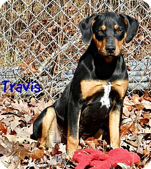 Black and Tan Coonhound Mix Dog for adoption in Lawrenceburg, Tennessee - Travis