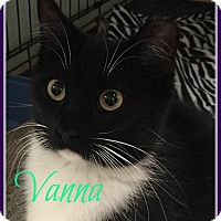 Domestic Mediumhair Cat for adoption in Gonic, New Hampshire - Vanna