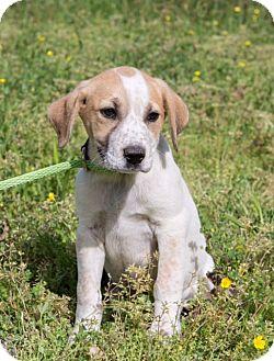 Australian Cattle Dog/Mixed Breed (Medium) Mix Puppy for adoption in Coventry, Rhode Island - Elizabeth Walton
