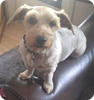 Yorkie, Yorkshire Terrier/Schnauzer (Miniature) Mix Dog for adoption in Orlando, Florida - Elizabeth