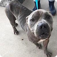 Adopt A Pet :: Leo - Batesville, AR