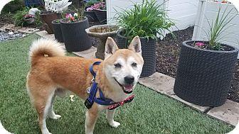 Shiba Inu Dog for adoption in Manassas, Virginia - Yamato