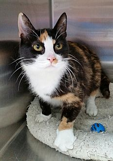 Calico Cat for adoption in Washingtonville, New York - Zoey