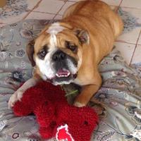 Adopt A Pet :: Honey04242017 - Baton Rouge, LA