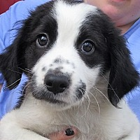 Adopt A Pet :: Porky - Germantown, MD