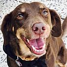 Adopt A Pet :: Kahlua *Adopt or Foster*