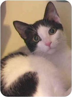 Domestic Shorthair Kitten for adoption in Laurel, Maryland - James Bond