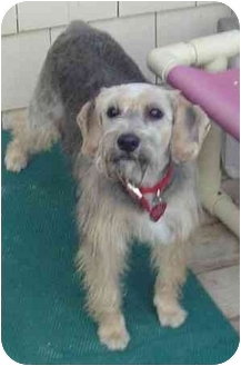 Poodle (Miniature)/Schnauzer (Miniature) Mix Puppy for adoption in Cranston, Rhode Island - SHANTEL