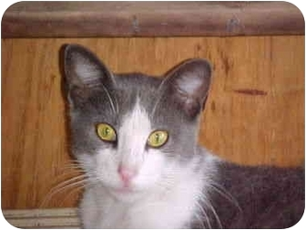 Domestic Shorthair Cat for adoption in Brownsville, Texas - Simon