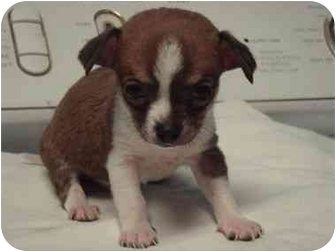 Chihuahua/Chihuahua Mix Puppy for adoption in Bristow, Oklahoma - Diablo