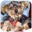 Photo 2 - Yorkie, Yorkshire Terrier Mix Dog for adoption in Tallahassee, Florida - Avery