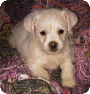 Terrier (Unknown Type, Medium) Mix Puppy for adoption in Encino, California - Jupiter