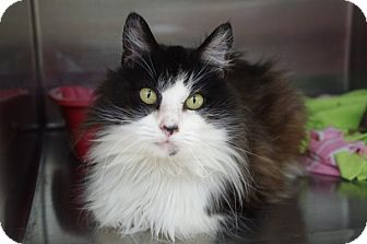 Domestic Longhair Cat for adoption in Elyria, Ohio - Samoa