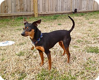 Miniature Pinscher Dog for adoption in Nashville, Tennessee - Gigi