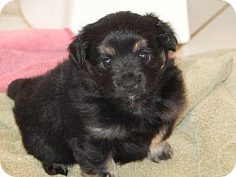 American Eskimo Dog Mix Puppy for adoption in Fort Worth, Texas - MARTA