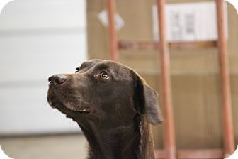Labrador Retriever Mix Dog for adoption in Oakville, Connecticut - Freedom