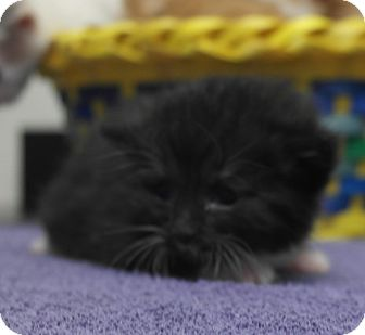 Domestic Mediumhair Kitten for adoption in Seneca, South Carolina - Beast $95