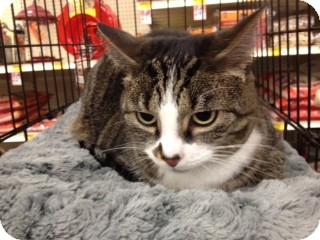 Domestic Shorthair Cat for adoption in Cincinnati, Ohio - Riles
