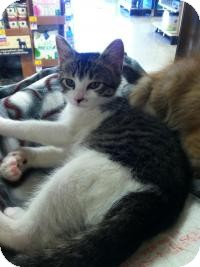 Domestic Shorthair Cat for adoption in Medford, New Jersey - Sasha