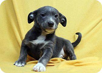 Blue Heeler/Basenji Mix Puppy for adoption in Westminster, Colorado - Saxaphone