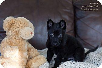 German Shepherd Dog Mix Puppy for adoption in Rochester/Buffalo, New York - Xerxes
