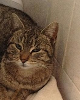 Domestic Shorthair Cat for adoption in New York, New York - Penny