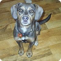 Adopt A Pet :: Abbey - cedar grove, IN