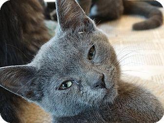 Domestic Shorthair Kitten for adoption in Elyria, Ohio - Hilda