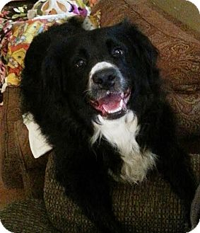 Retriever (Unknown Type)/Springer Spaniel Mix Dog for adoption in Baltimore, Maryland - Maggie
