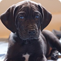 Adopt A Pet :: Shadow Hunter - Broomfield, CO