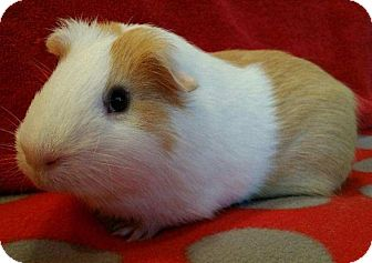 Guinea Pig for adoption in Highland, Indiana - Gordon